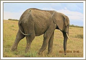 This elephant was seen with a large spear wound to the hip