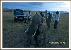 The elephant required assistance to stand after treatment