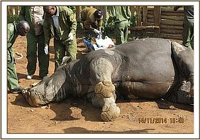 The rhino succumbs to the anaesthetic