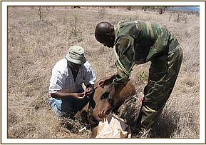 Sampling an immobilised buffalo