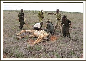 Taking samples from a giraffe