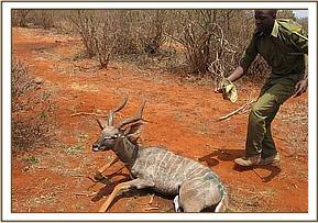 A lesser kudu recovering from anaesthesia