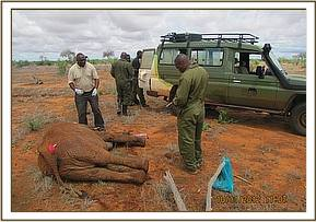 Immobilized elephant for sampling