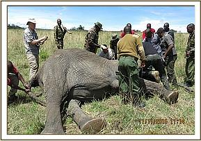 The team assess the elephant as they prepare to collar