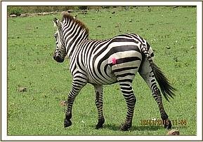 The zebra limps off