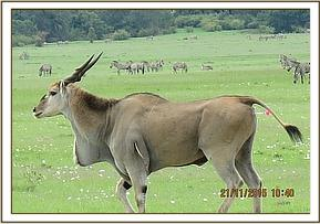 This eland has an arrow sticking from his shoulder