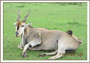 The eland should make a full recovery