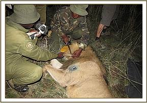 Attaching a collar to one of the lions