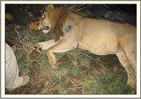 Immobilized lion for collaring