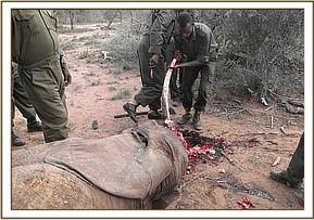 Removing the tusks