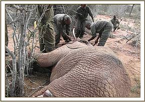 The elephant is euthanized and the tusks removed