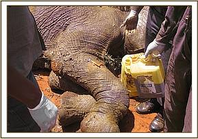 The elephant after examination of the wounds