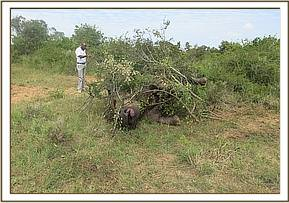 The poachers tried to camoflage the carcass