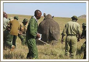 The rhino is darted and immobilized for translocation