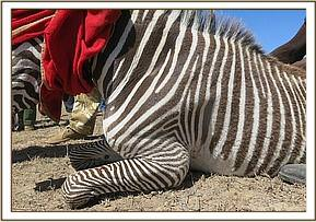 Samples are taken from the zebra for further testing