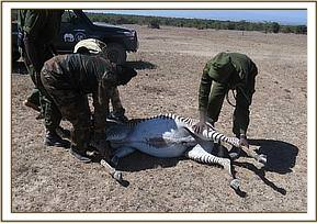 The zebra is darted and goes down for treatment