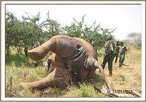 A bull elephant is found with multiple wounds