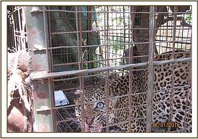A problematic aging leopard is trapped for examination