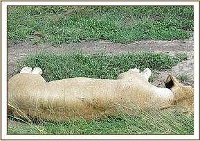 The lioness is recumbent and unresponsive