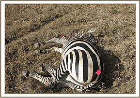 The darted zebra