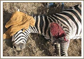 The injury on the zebra's left shoulder