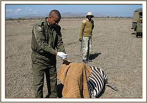 The snare that was around the zebra's  neck