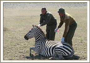 The immobilized zebra
