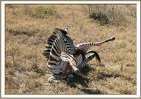 The zebra awake after treatment