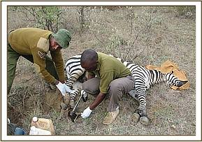 Trimming the zebra's hoof