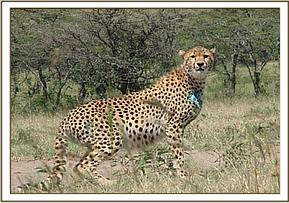 The cheetah after treatment