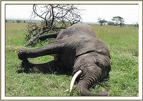 The dead female elephant