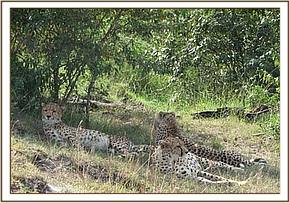 The injured cheetah in the company of two other cheetahs