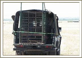Transporting the captured hyena