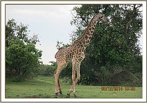 The giraffe is spotted with a snare