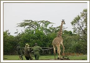After darting the giraffe is roped