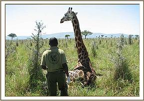 The giraffe awake after the reversal drug is administered