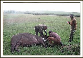 Collecting a blood sample from an immobilised buffalo