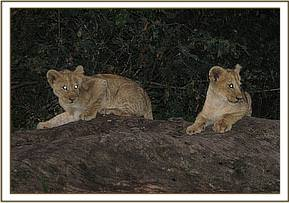 The two other cubs