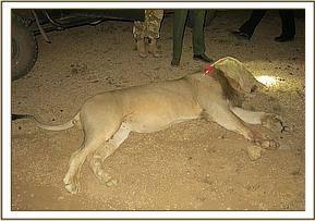 One of the male lions is darted for conflict