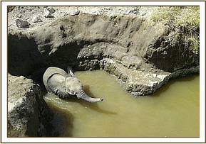 A baby elephant is found trapped in a well