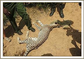 The cheetah is immobilised for examination