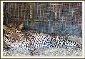 A leopard is trapped for relocation