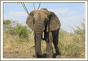 An elephant is seen showing severe lameness