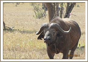 A buffalo is seen with a snare around the neck