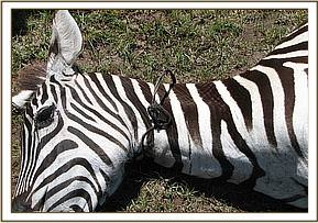 The snare is around the zebra's neck