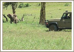 The calf is chased away with a vehicle