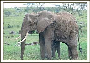 An injured female elephant is seen
