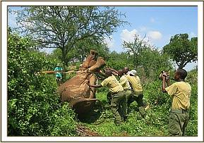 The elephant is turned for treatment