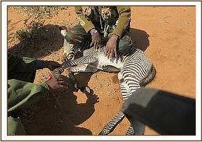 A snared zebra foal was reported