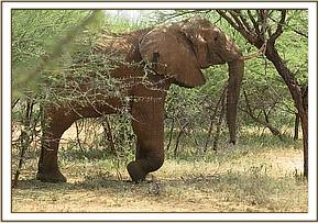 An elephant is seen with a severe injury